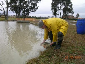 Kialla Lakes Release of golden perch3